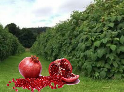 POMEGRANATE, POMEGRANATE for stamina,